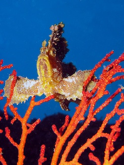 East Timor Coral Triangle Diving