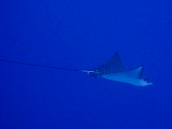 Eagle Ray at Timor Dive Site