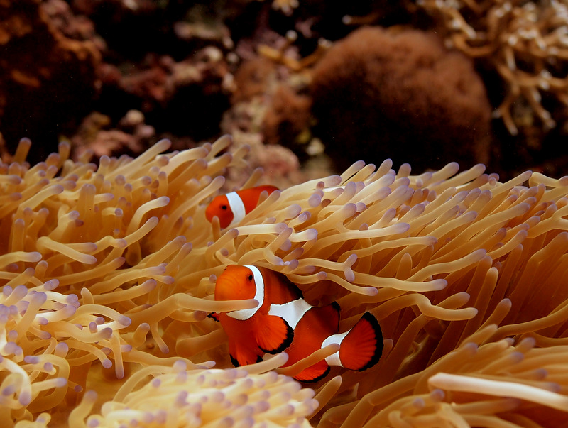 Clown Fish in Timor Waters