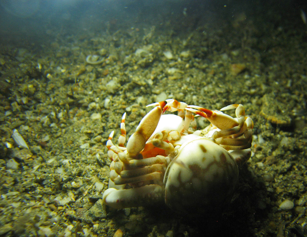 Crab Muck Diving